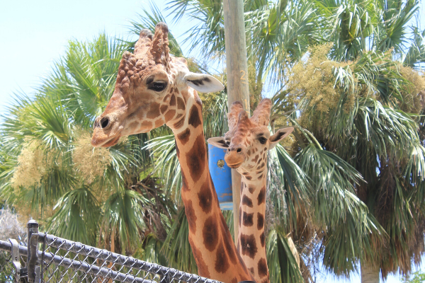 giraffes at naples zoo