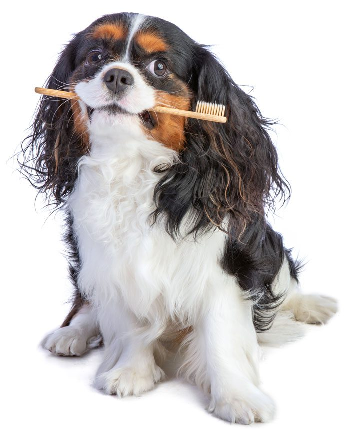cavalier king charles spaniel sitting with toothbrush